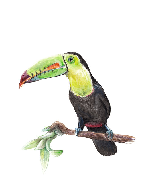 Keel-Billed Toucan Limited Edition Print 8.5x11 Watercolor