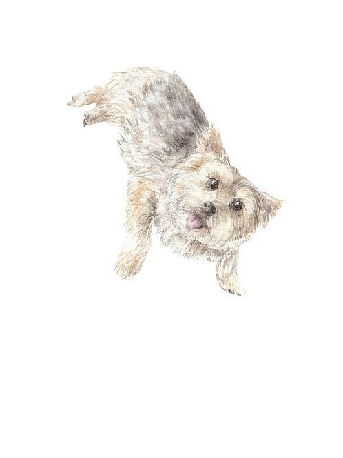 Norwich Terrier Ltd Ed Print Watercolor