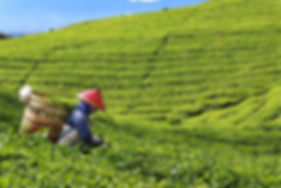 Lady-in-Tea-Plantation-sm-700x467.jpg