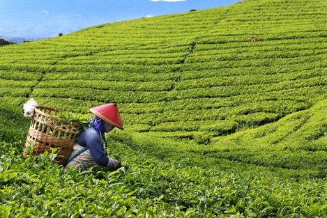 Lady-in-Tea-Plantation-sm-700x467.jpg