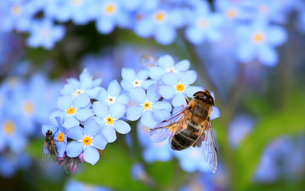 forget-me-not-257176.jpg