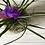 Thumbnail: Tillandsia Cyanea