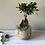 Thumbnail: Ficus ginseng bonsai medium