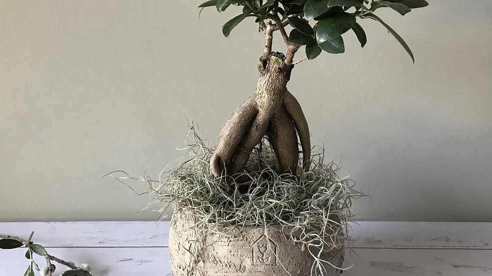 Ficus ginseng bonsai medium