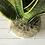 Thumbnail: Sanseveria trifasciata