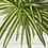 Thumbnail: Chlorophytum