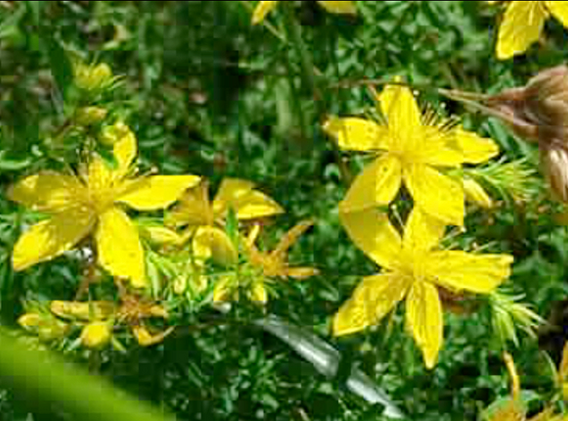 orolla of the brooms