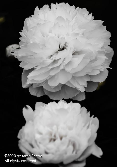 Begonia Duet