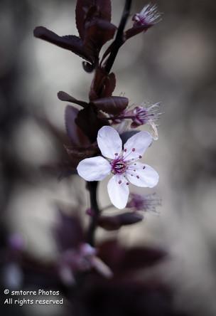 Cherry Blossoms (2)