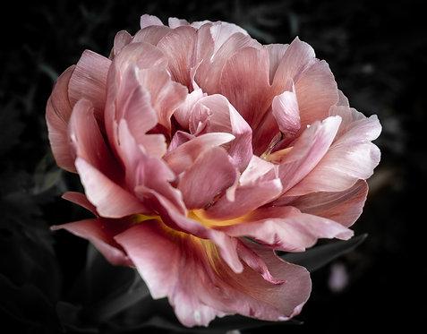 Ruffle Tulip