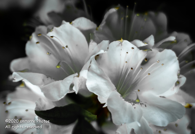 Rhododendron Duet