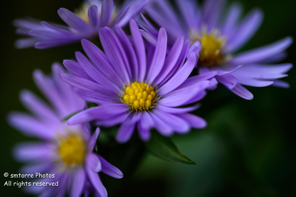 Fall Asters