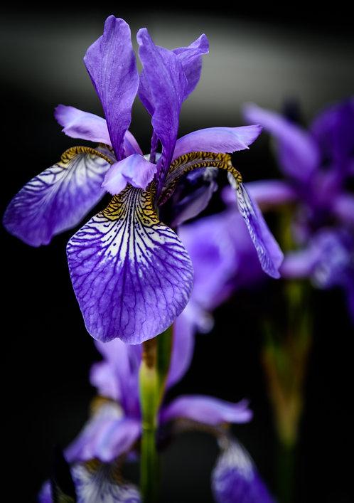 Purple Iris (2)