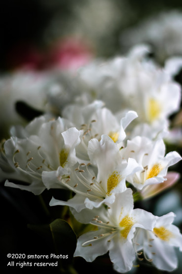 White Rhododendrons