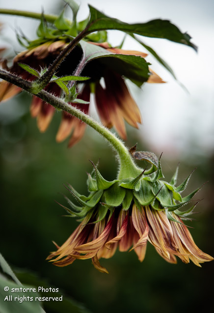 Copper Sunflower