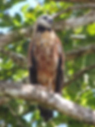 Black-collared Hawk, juvenile