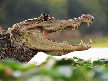 Caiman crocodilus.JPG