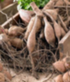 Dahlia tubers for sale