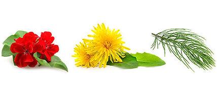 Plant-Therapy-AloeJellies-Dandelion.jpg