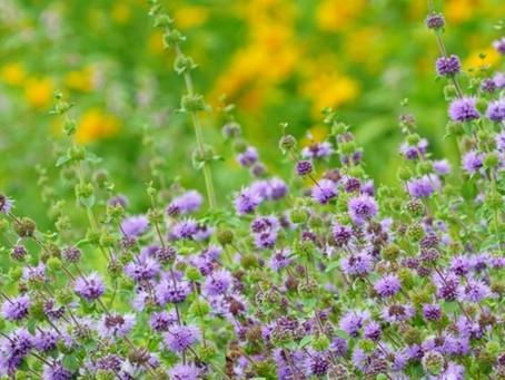 La Nepitella, aromatica selvatica per ritrovare antichi sapori