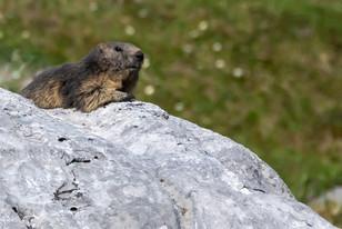 Marmotte Col des Essets