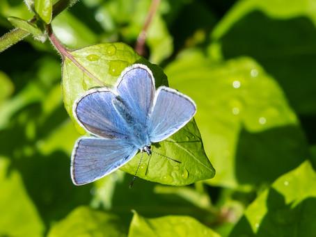 Common blue m.