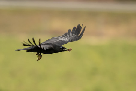 Carrion crow with half a walnut.