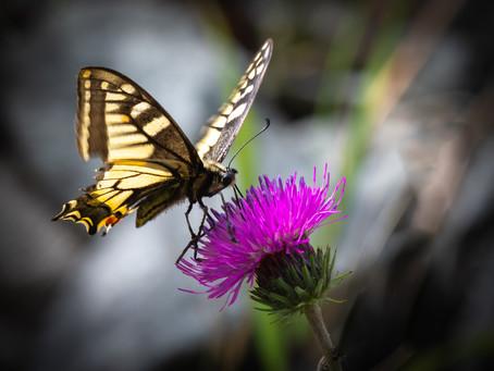 Swallowtail 20.06.2021