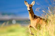 Roe deer. Doe