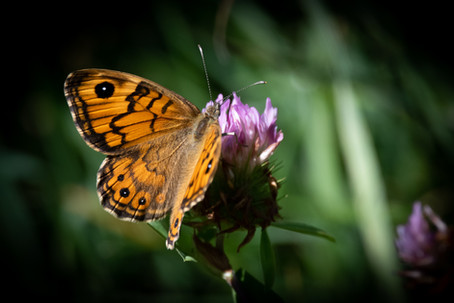 Wall Brown f.