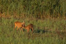 Tender deer moment