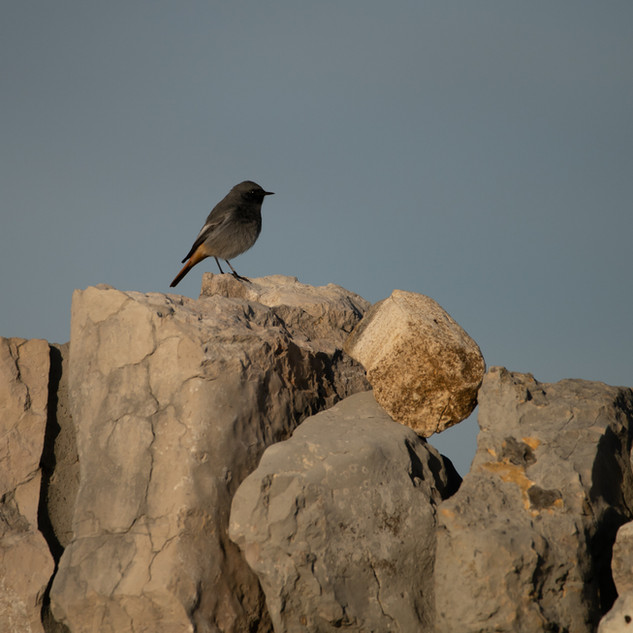Black redstart on the stone walls along the cliff