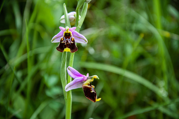 Late spider-orchid