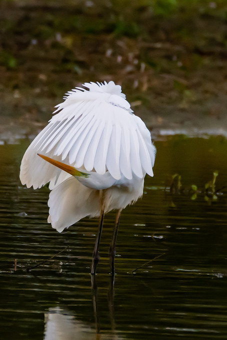 Great white egret preening