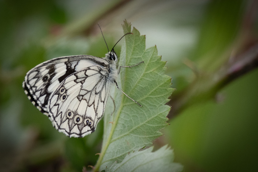 Marbled white (male)