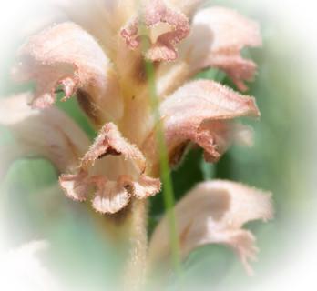Yellow Broomrape