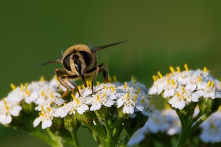 Bee on commun yarrow