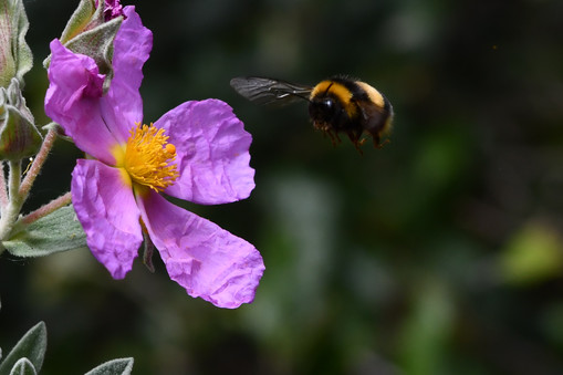 Bumble bee in Italy