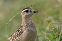 Dotterel on the Swiss Jura