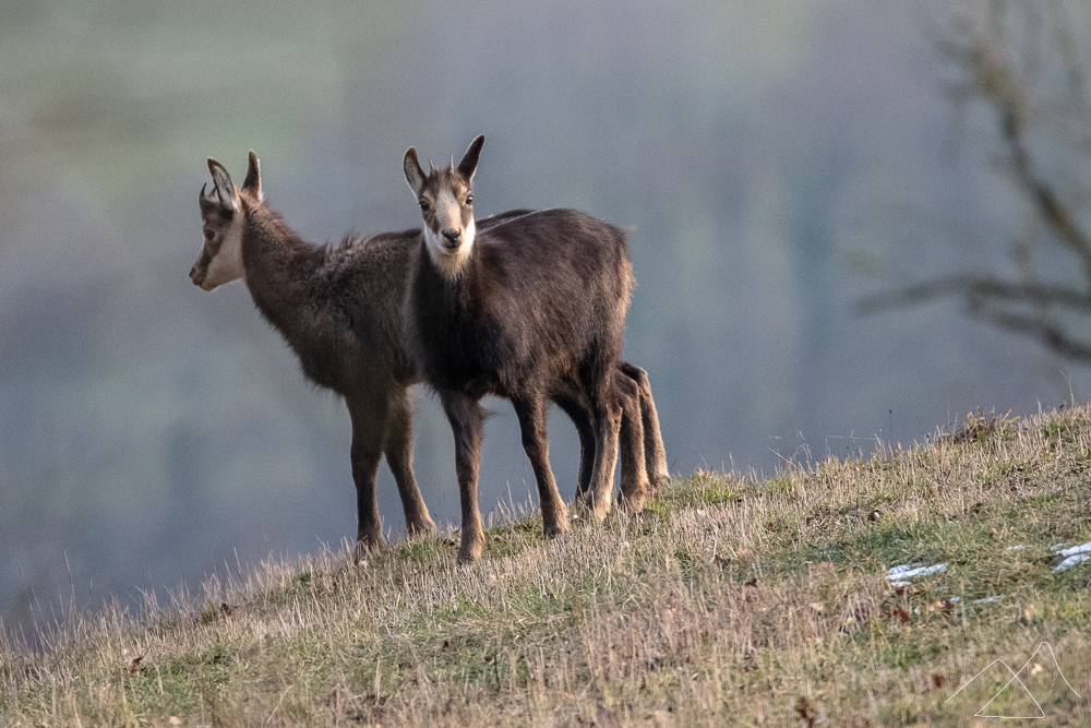 Two little chamois