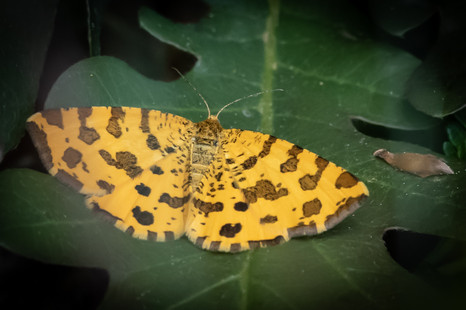 Speckled yellow