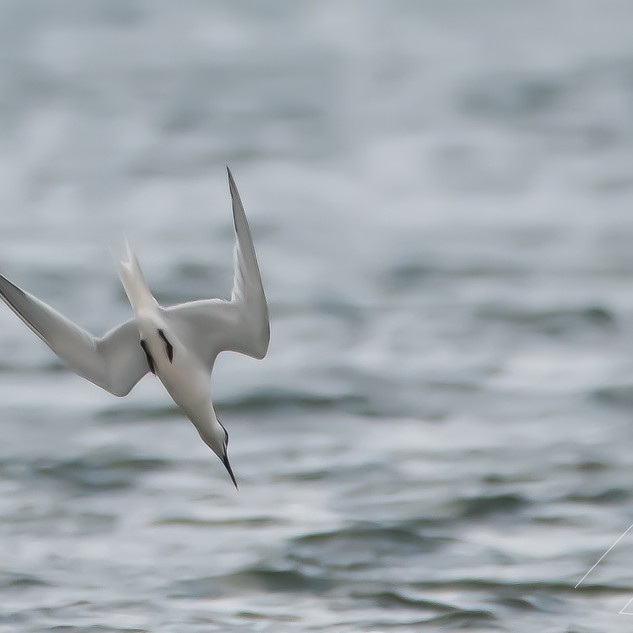 Tern diving Rossnowlagh