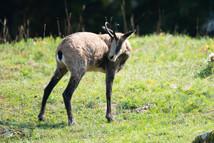 Three-legged chamois in the Swiss jura.
