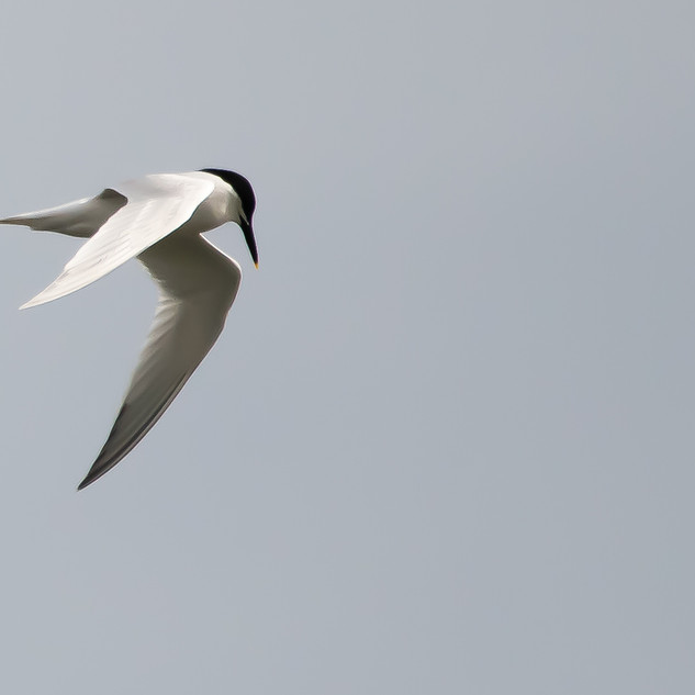 Tern ready to dive