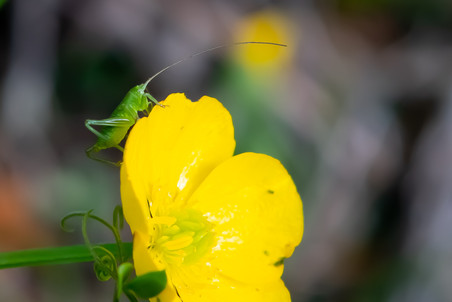 On buttercup