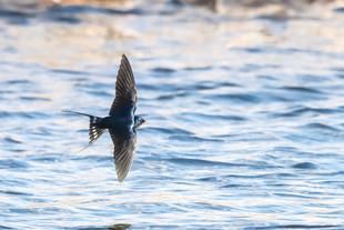 Swallows, Swifts & Martins