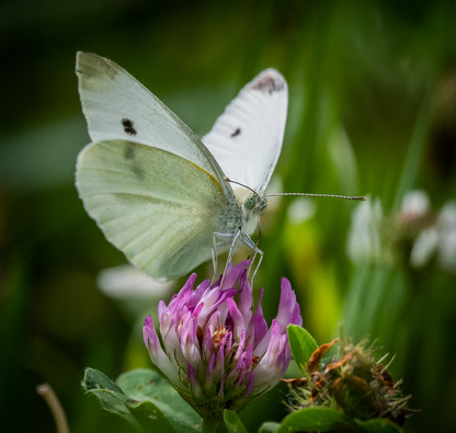 White butterfly group