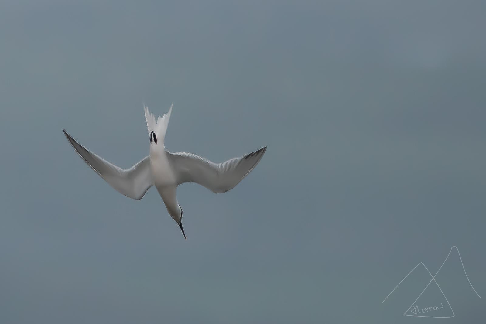 Tern diving