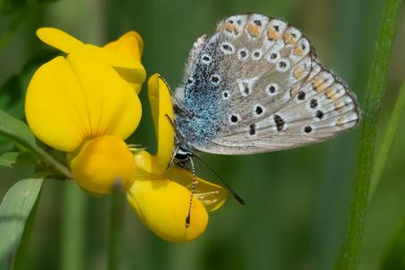 Common blue f. 03.07.2021