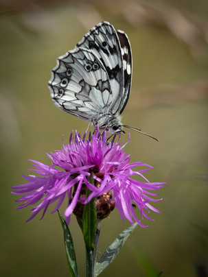 Marbled white (male) 28.06.2021